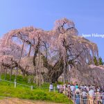 Miharu Takizakura-The three largest cherry blossoms in Japan | Fukushima Japan tourism information