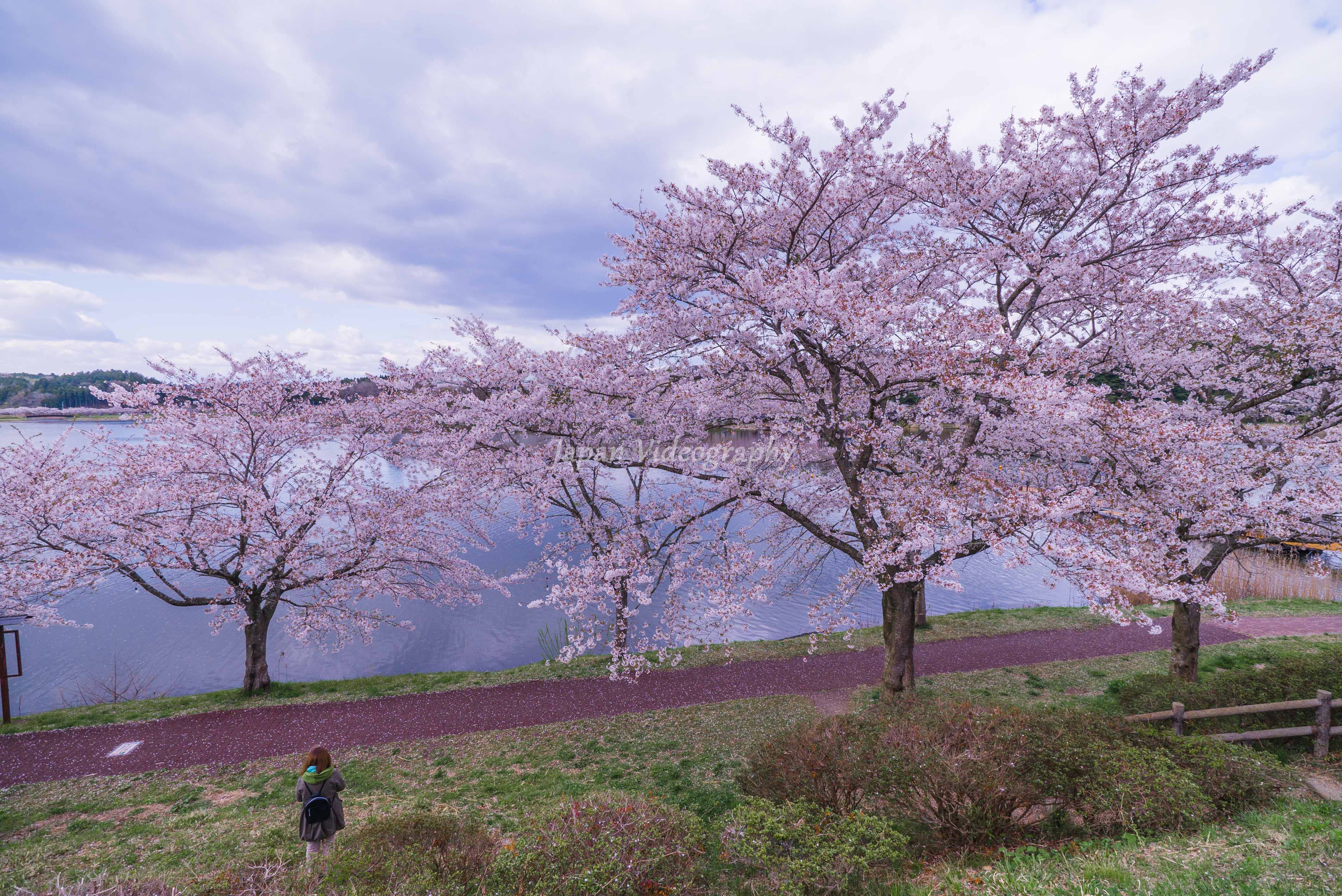 宮城県登米市 平筒沼ふれあい公園の遊歩道に咲く桜