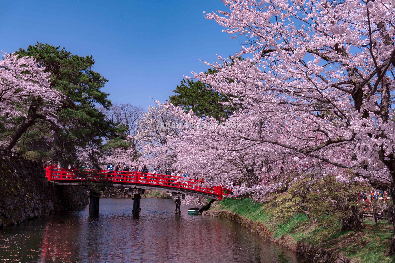 日本一の桜名所 弘前城 弘前公園の桜の風景