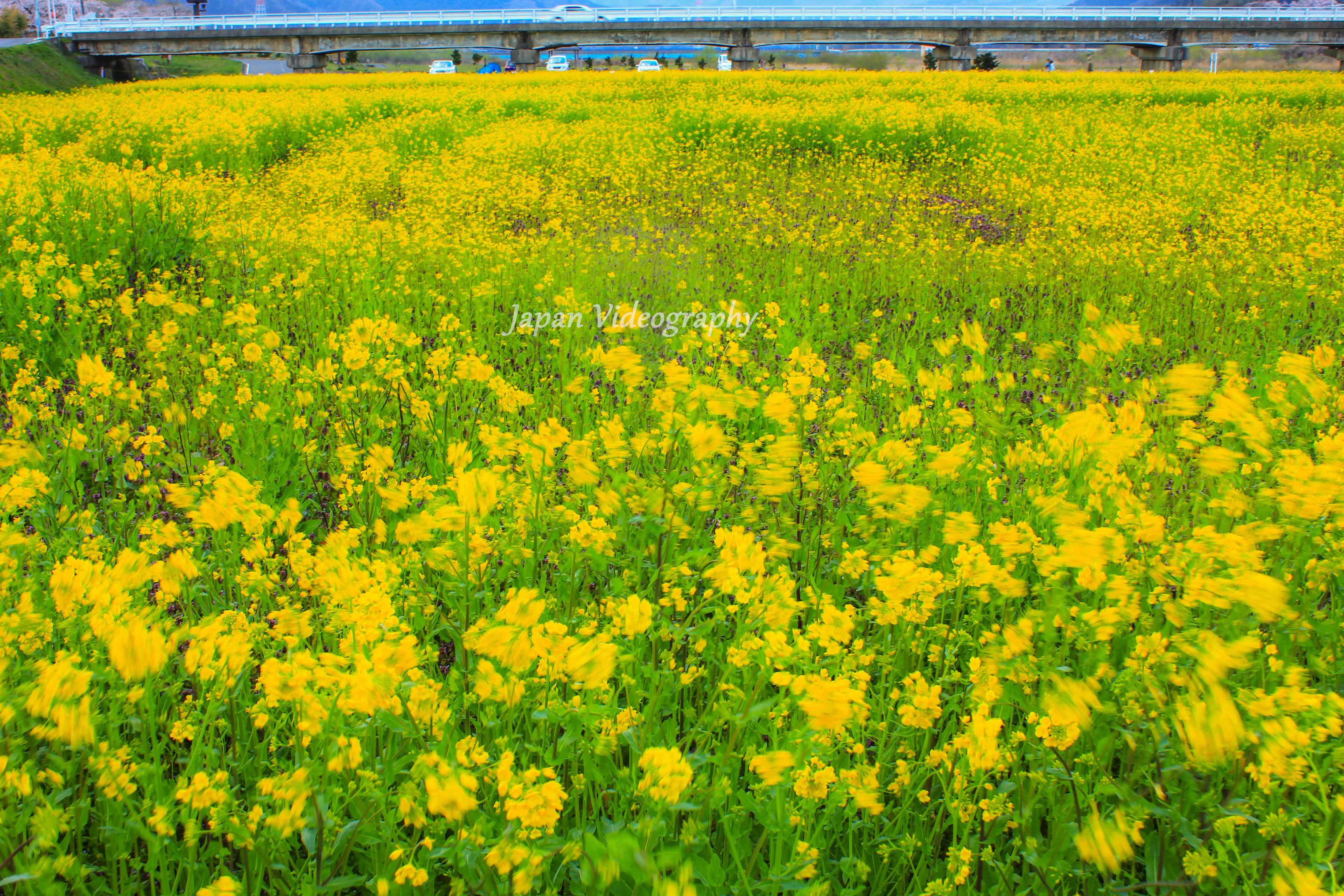 宮城県大崎市のイベント 川渡温泉菜の花フェスティバル