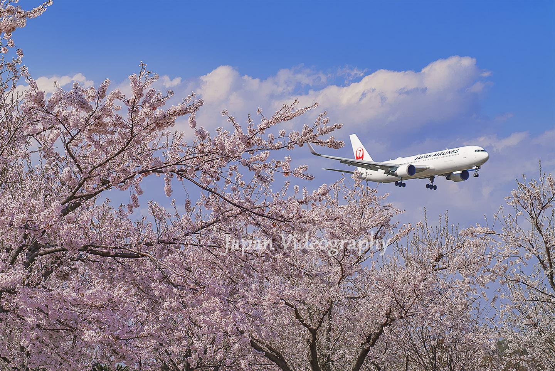 成田国際空港さくらの山公園 満開の桜と旅客機の着陸風景