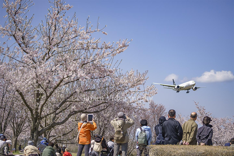 成田空港 満開のさくらの山公園 スターアライアンス塗装