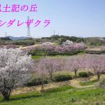 Hitachi Fudoki no Oka Weeping cherry blossoms spot I Ibaraki Japan tourism information
