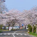 モリリン加瀬沼公園の桜-親子で楽しい桜名所|宮城県の花見スポット2018
