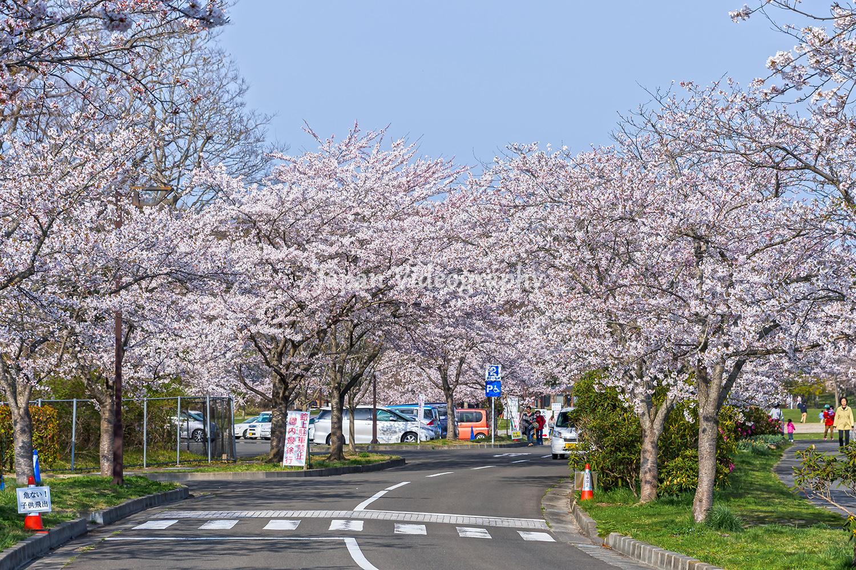 宮城県のお花見スポット モリリン加瀬沼公園