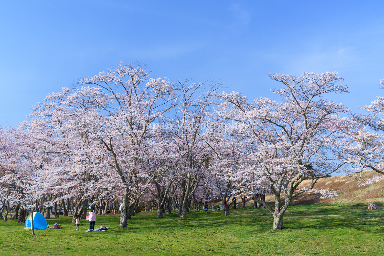 モリリン加瀬沼公園 青空と桜が美しい春の風景