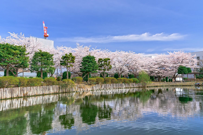 サッポロビール園 ビオトープ園 池と桜の風景