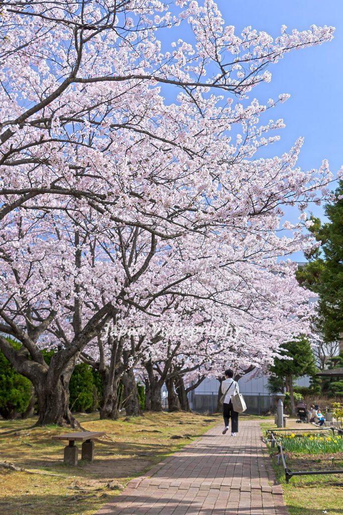 宮城県名取市 サッポロビール仙台工場 桜と遊歩道