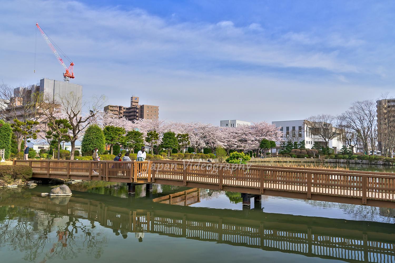 サッポロビール仙台工場 ビオトープ園の池と桜の風景