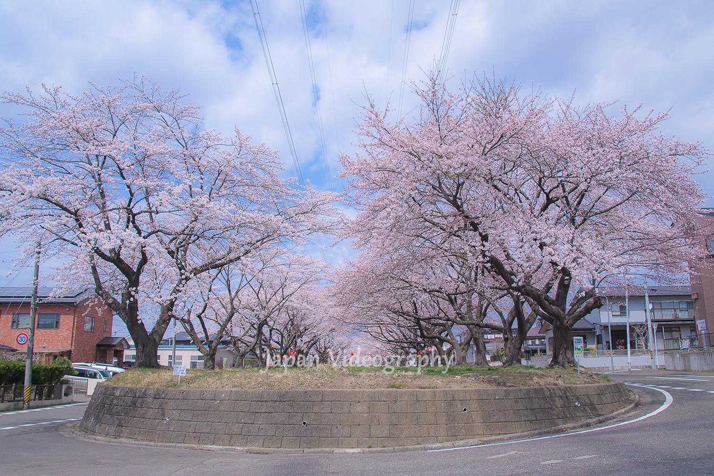 花見情報 宮城県富谷市東向陽台グリーンベルトの桜並木