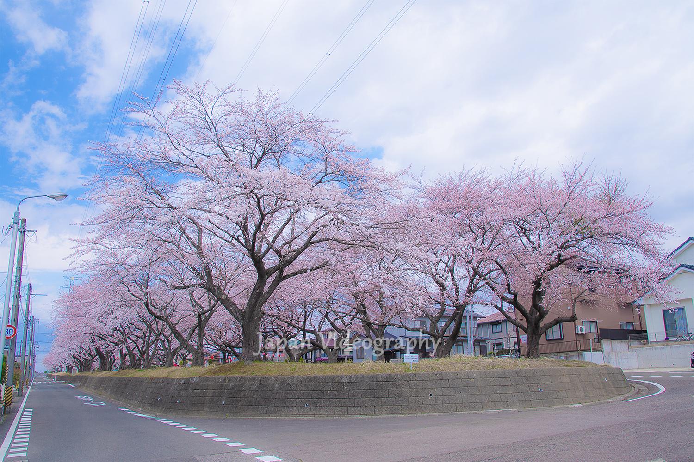 宮城県富谷市東向陽台グリーンベルトの桜並木と道路の風景