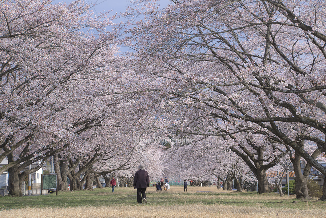 富谷市東向陽台の桜並木