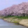松島 高城川の桜並木-東北地方の隠れた桜名所|宮城県の花見スポット2018